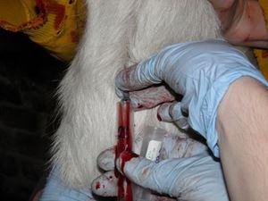 Obrázok pre výrobcu Odber krvi, koza, vena jugularis